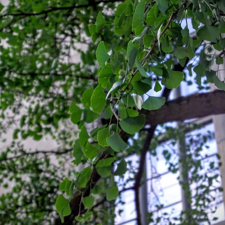 Гинкго билоба | Блог Berlin with sense