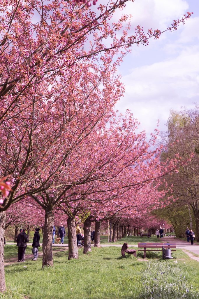Сакура | Блог Berlin with sense